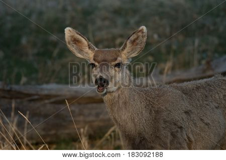 A Young Mule Deer with a Funny Expression