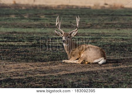 A Mule Deer Buck Relaxing and Lounging Around