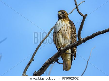 A Red-tailed Hawk Observes the Area for Its Next Meal