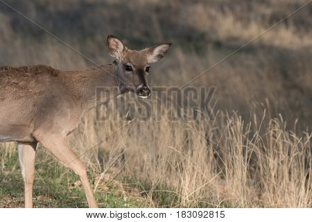 A White-tailed Deer Walking Away Looking Suspicious