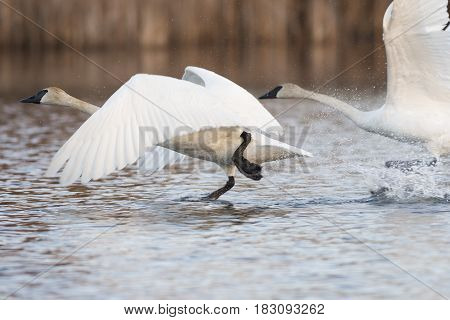 A pair of Trumpeter Swans taking flight