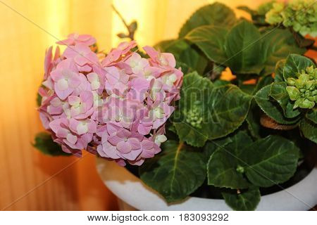 Large pink room hydrangea in a pot