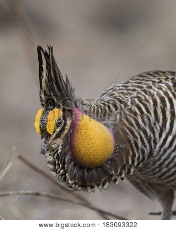 A Displaying and Booming Greater Prairie Chicken