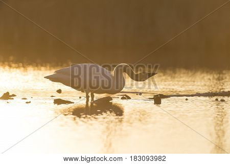 A Trumpeter Swan at sunset on a wetland