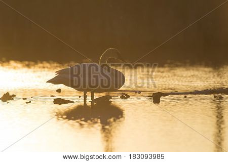 A Trumpeter Swan in a wetland at sunset