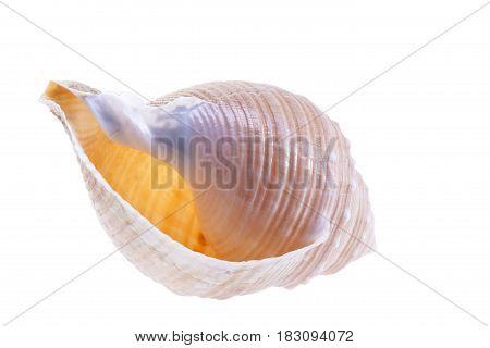 Single sea shell of marine snail isolated on white background close up.