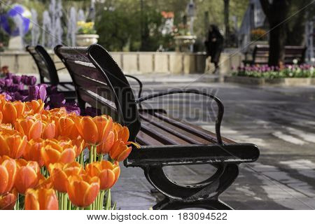 Blurred Muslim woman figure at background foreground covered with spring time tulips and park benchs.