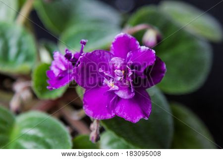 Indoor Flower Violets