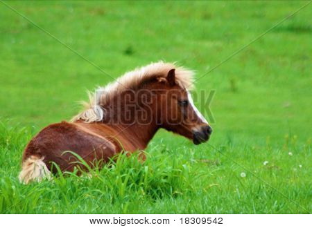 Miniature Horse Laying Down