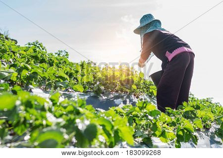 Gardeners are picking strawberries in a field with morning light.