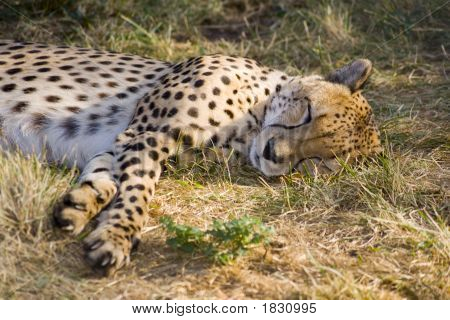 Sleeping Cheetah