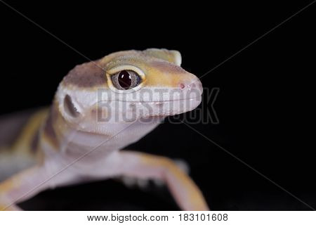 Close-up of yellow leopard gecko on black background
