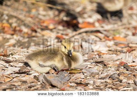 Canada Goose Gosling (Branta Canadensis) Perching. Santa Clara County, California, USA.