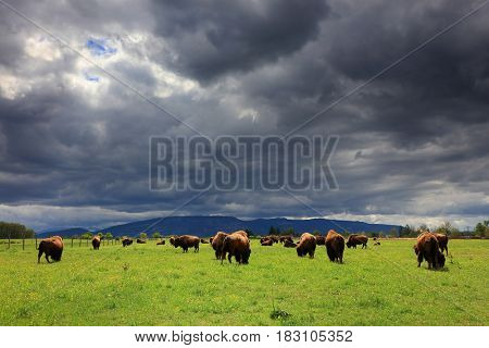 Bison Buffalo Herd  - stormy clouds background