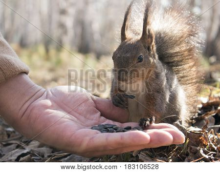 Squirrel in the park eats sunflower seeds from his hand
