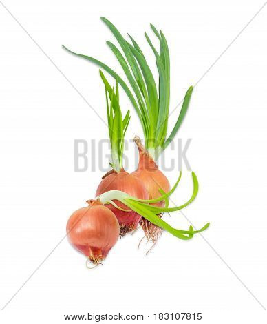 Three sprouting bulb onion with green sprouts closeup on a light background