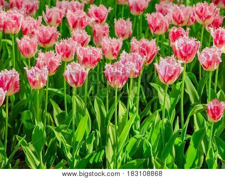 Background of the flower bed with the pink fringed tulips closeup in Keukenhof Park