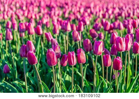 Closeup of dark pink colored tulips in early morning sunlight at a specialized bulb grower in the Netherlands. It is early in the morning of a sunny day in the beginning of the spring season.