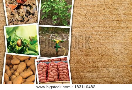 Homegrown potato photo collage on wooden background with copy space