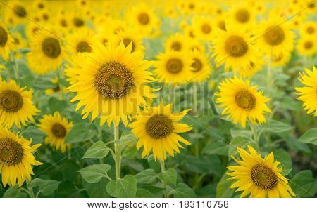 Sunflower background. Sunflower field. Agriculture business background. Happy sunny day in sunflower field. Floral sunflower landscape and background.