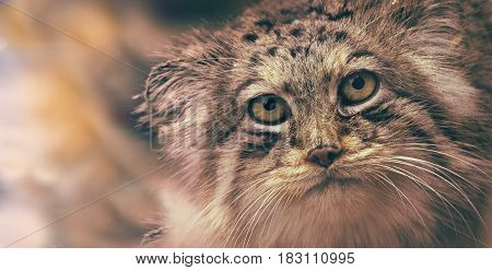 Portrait manul cat palla´s cat. Face wild nad undomestic asian cat. Small prey from mountain.