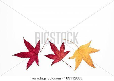colourful Japanese maple tree leaves arranged on white background