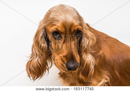 English Cocker Spaniel Dog Isolated On White