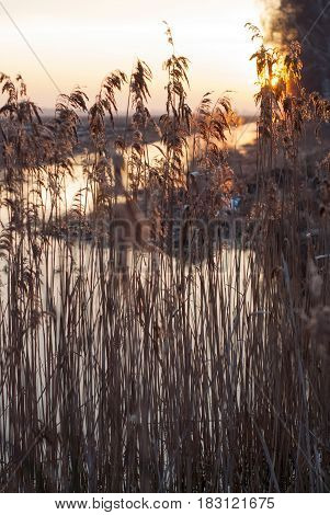 Coastal reeds in the setting sun, the reeds in the drainage ditch