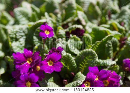 Early Flowers Of Purple