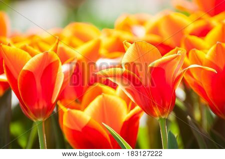 Blooming Red Tulip.