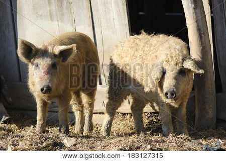 Two Mangalica a Hungarian breed of domestic pigs