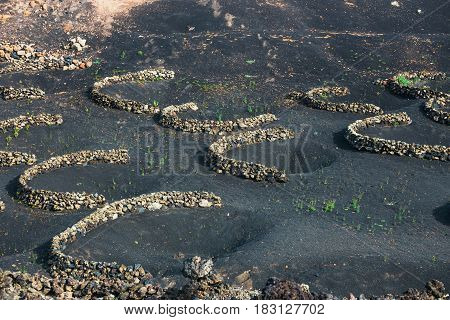 Famous Vineyards Of La Geria On Volcanic Soil, Lanzarote Island, Spain