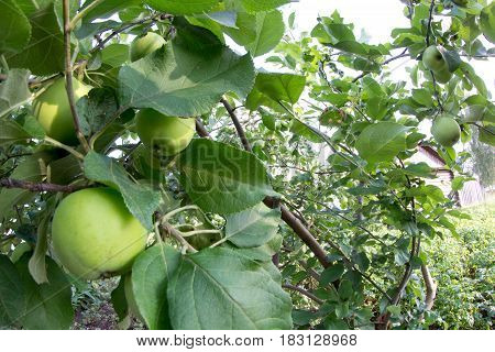 Green apples grows on a branch among the green foliage against a blue sky
