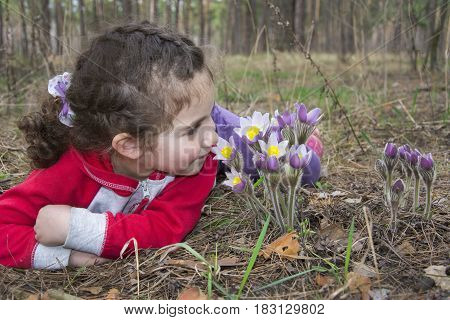 In the forest in the spring a small curly girl lies on the ground and sniffs flowers pasque-flower.