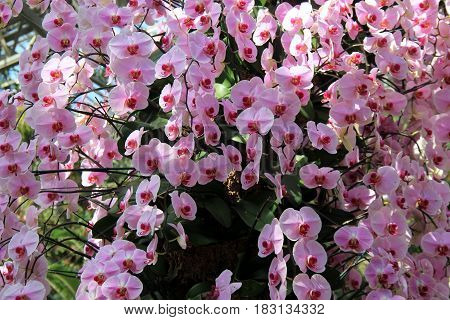 Stunning cascade of exotic orchids in tropical garden