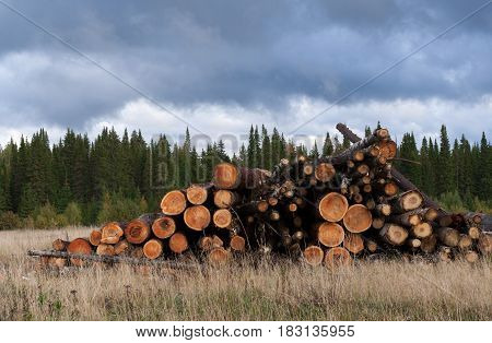 Pile Of Felled Trees On Dry Grass On Background Of Green Coniferous Forest And Overcast Sky.