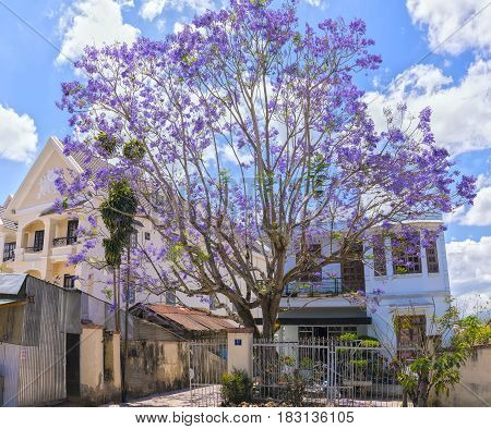 Dalat, Vietnam - March 28th, 2017: Jacaranda flowers bloom in the courtyard of a beautiful spring house in Dalat, Vietnam