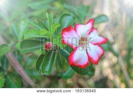 Impala Lily, Desert Rose, Mock Azalea, Pinkbignonia, Adenium