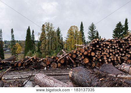 Felled Trees In The Foreground And Living Trees On The Background.