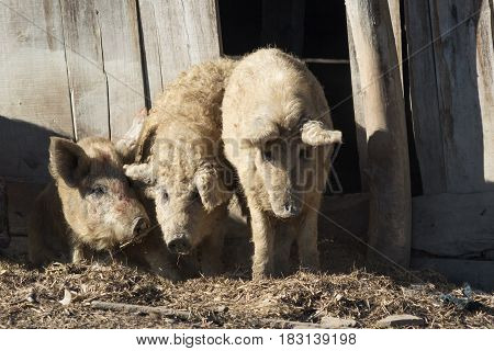 Tale of the Three Little Pigs Mangalica a Hungarian breed of domestic pig