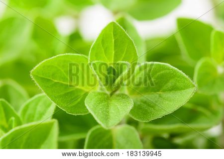 Fresh green marjoram plants background, nature background