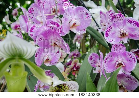 Beautiful Orchidaceae Flowers At Mainau Island Garden. Germany