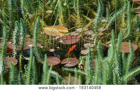 Koi Carps Fish In Green Pond At Mainau Island Garden. Germany