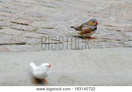 The Zebra Finch (taeniopygia Guttata Or Poephila Guttata) Birds At Mainau Island Garden. Germany