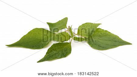 Pellitory (Parietaria officinalis) sprig isolated on white background