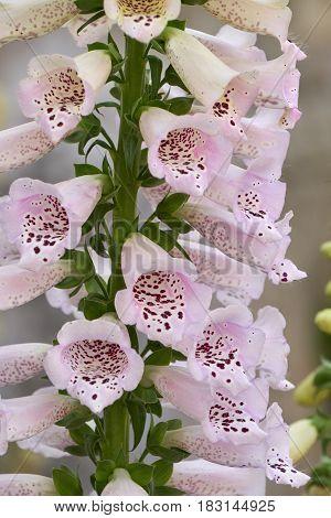 Digitalis Purpurea Flower In Bloom