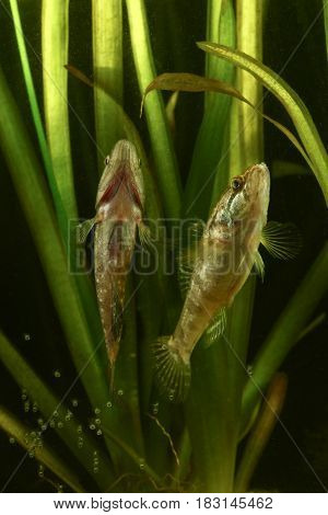 Spawning and mating of Chinese sleeper Perccottus glenii fresh water fish