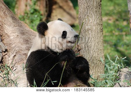 Wild giant panda bear with a shoot of bamboo.