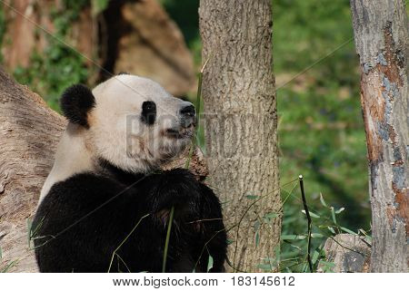 Giant panda bear contemplating a piece of bamboo before eating it.