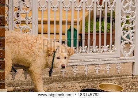 Furry white dog tied to a white gate with a green leash